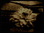 Flower on a Dashboard - Photo by Donna Henderson - 2013